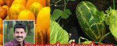 കണിവെള്ളരി – മൂന്നു കുട്ടുകാർ കുംഭം-മീനം മാസത്തിൽ ചെയ്ത വെള്ളരിക്ക കൃഷിയുടെ കഥ : മെട്രിസ് ഫിലിപ്പ്